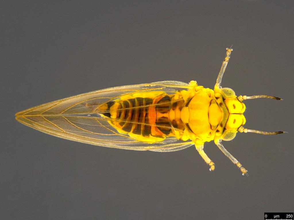 11b - Acizzia sp.