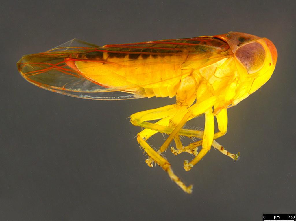 13a - Cicadellidae sp.