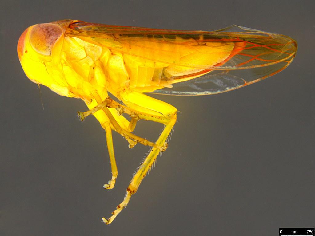 13c - Cicadellidae sp.