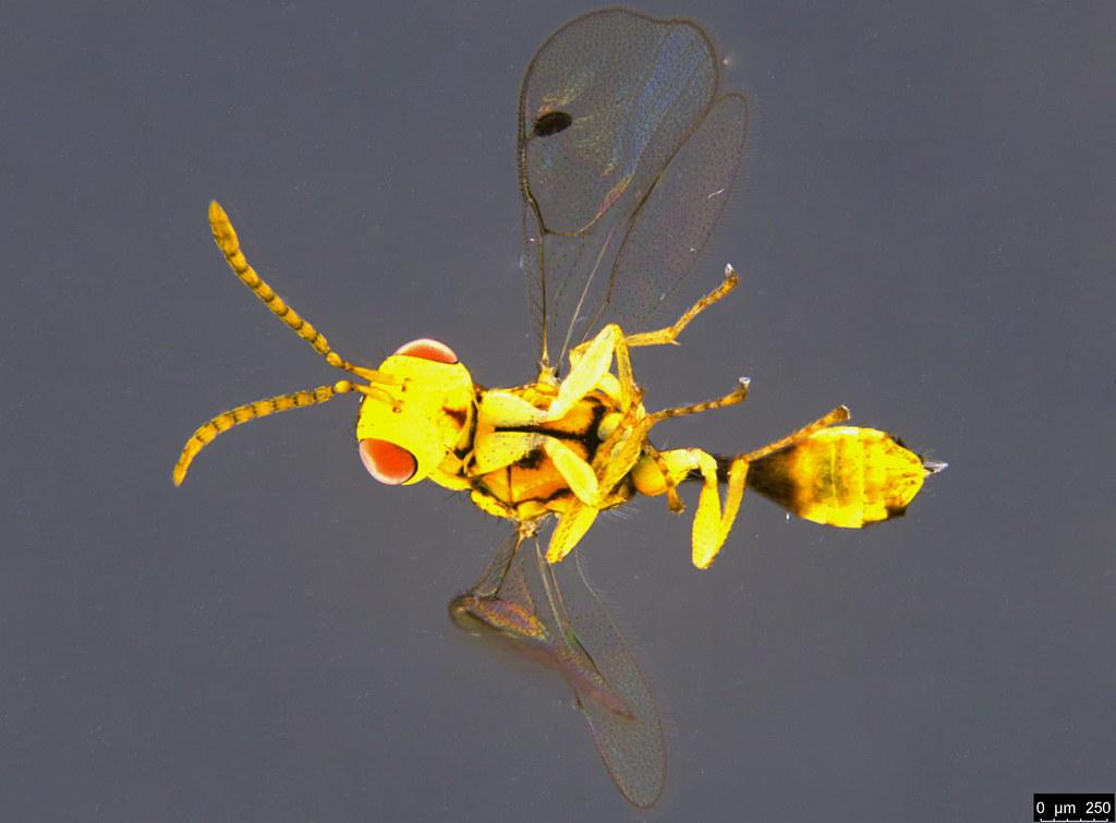 18c - Megastigmus sp.