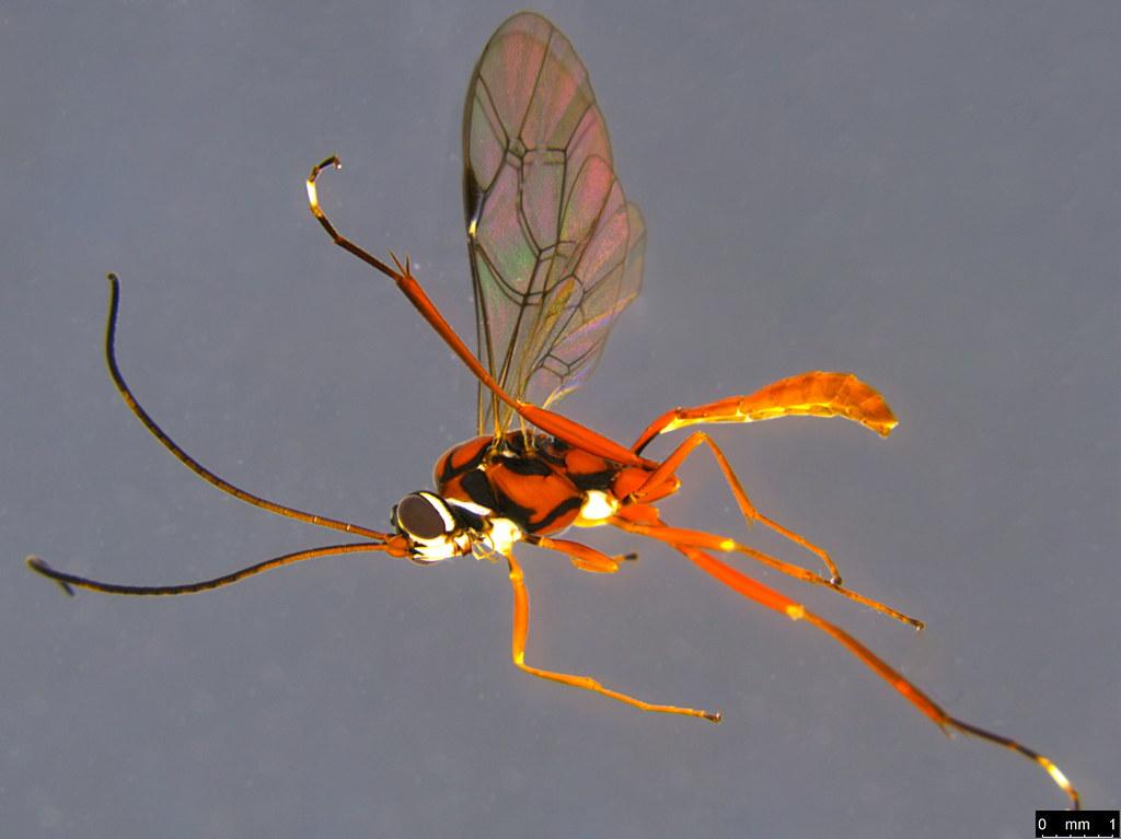 23a - Ichneumonidae sp.