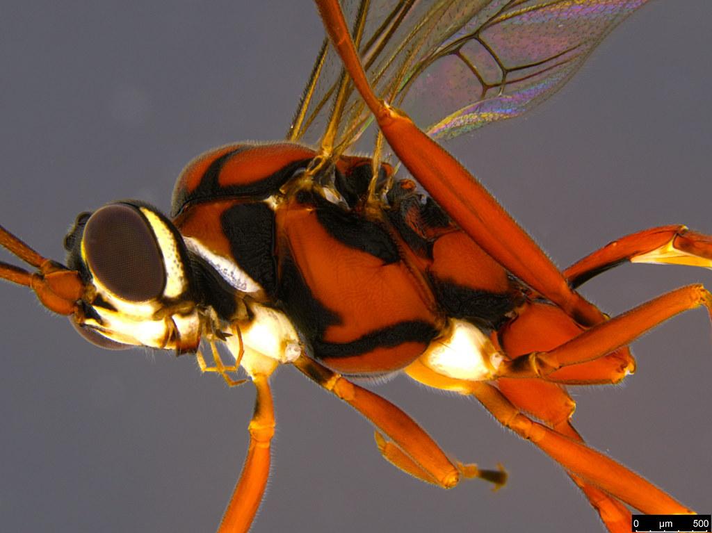 23b - Ichneumonidae sp.