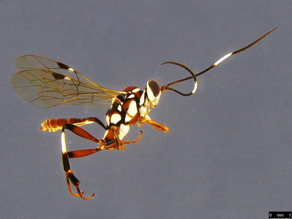 24a - Ichneumonidae sp.