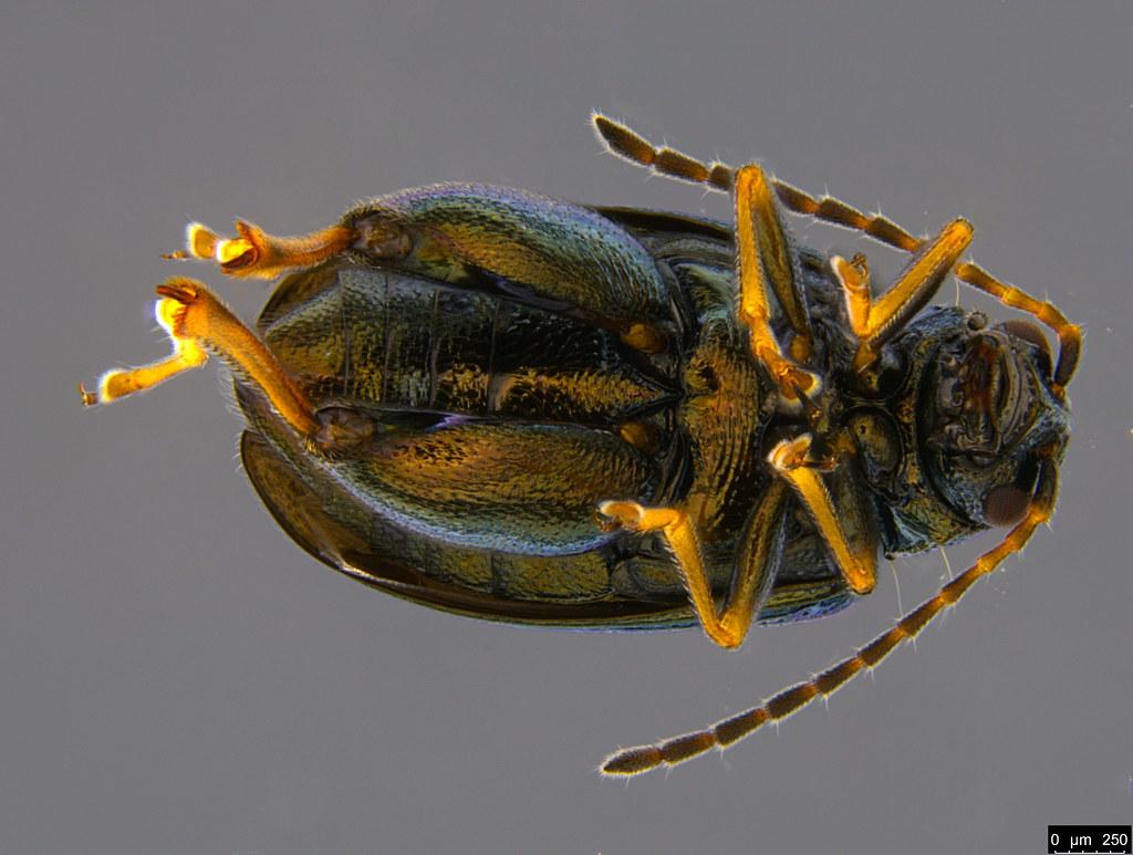 1b - Alticini sp.