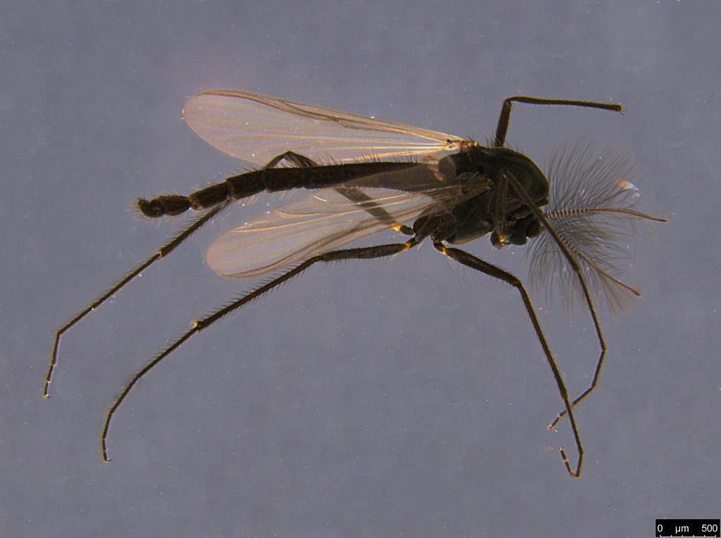 4a - Chironomidae sp.