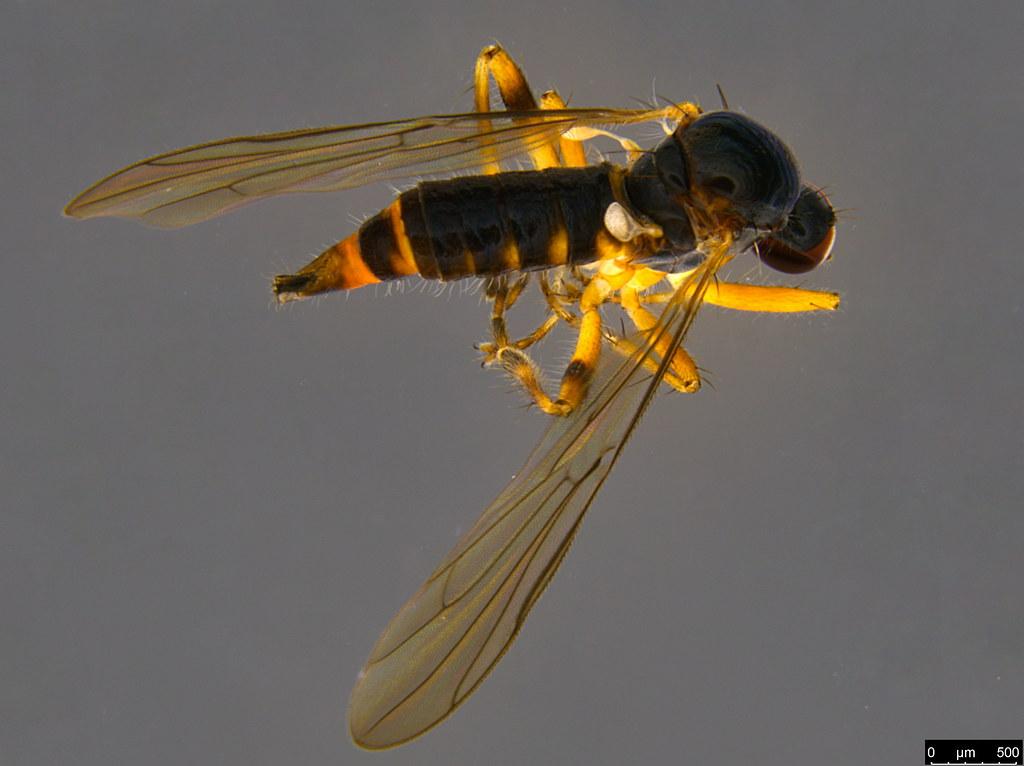 9a - Ocydrominae sp.
