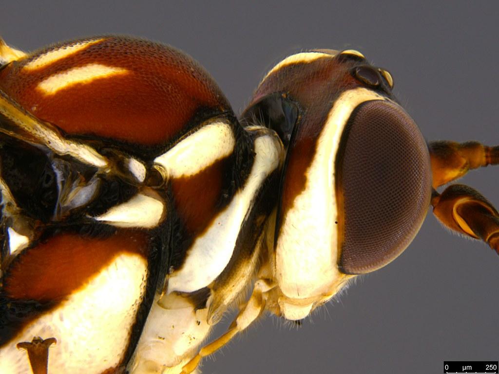 24d - Ichneumonidae sp.