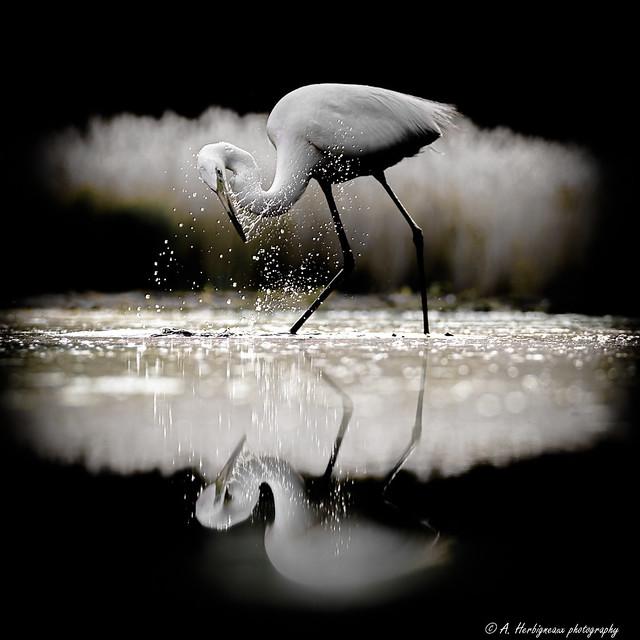 Great Egret, Ardea Alba, Grande Aigrette. ( Night shot)