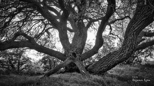 Gespensterbaum