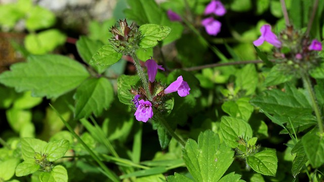 Clinopodium vulgare - Calament