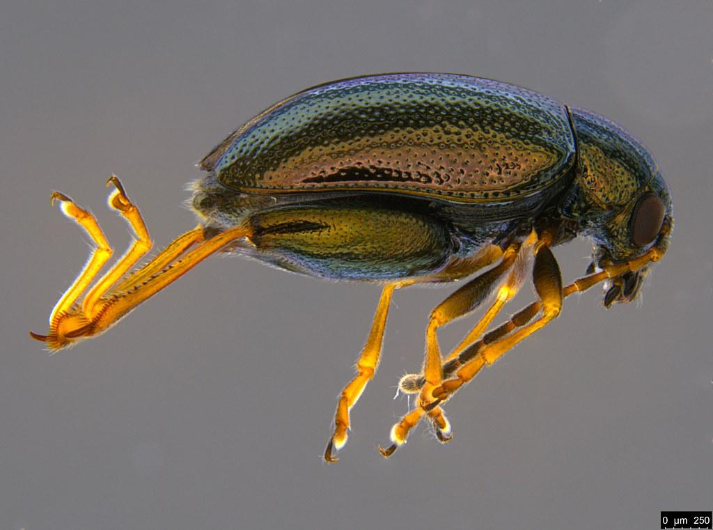 1a - Alticini sp.