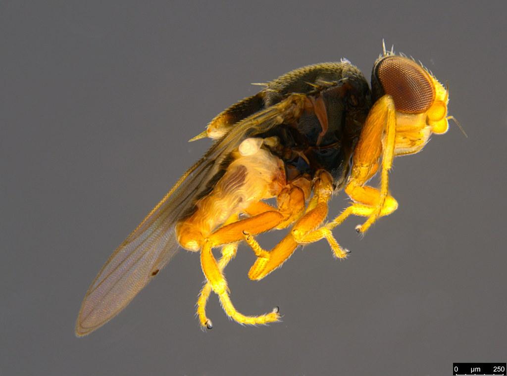 5a - Tricimba sp.