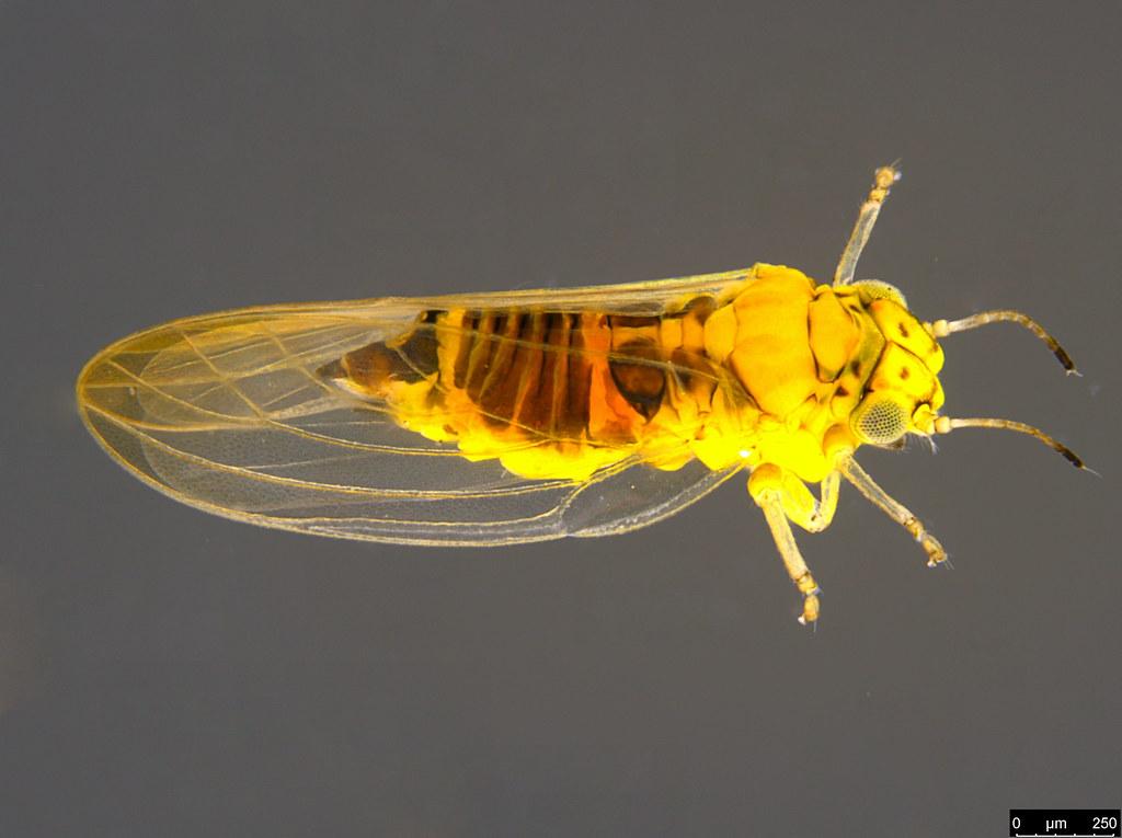 11a - Acizzia sp.