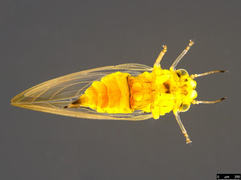 11c - Acizzia sp.