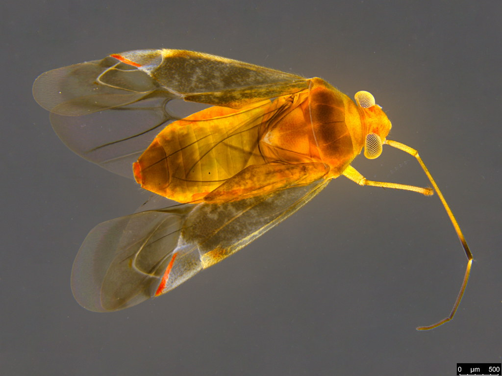 15 - Miridae sp.