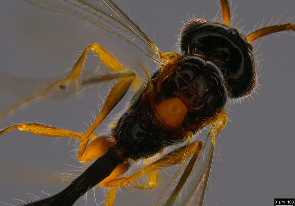 16c - Dispriidae sp.