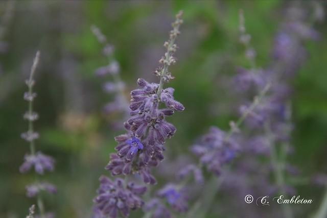 Lavender (Explorer 7/6;2021)