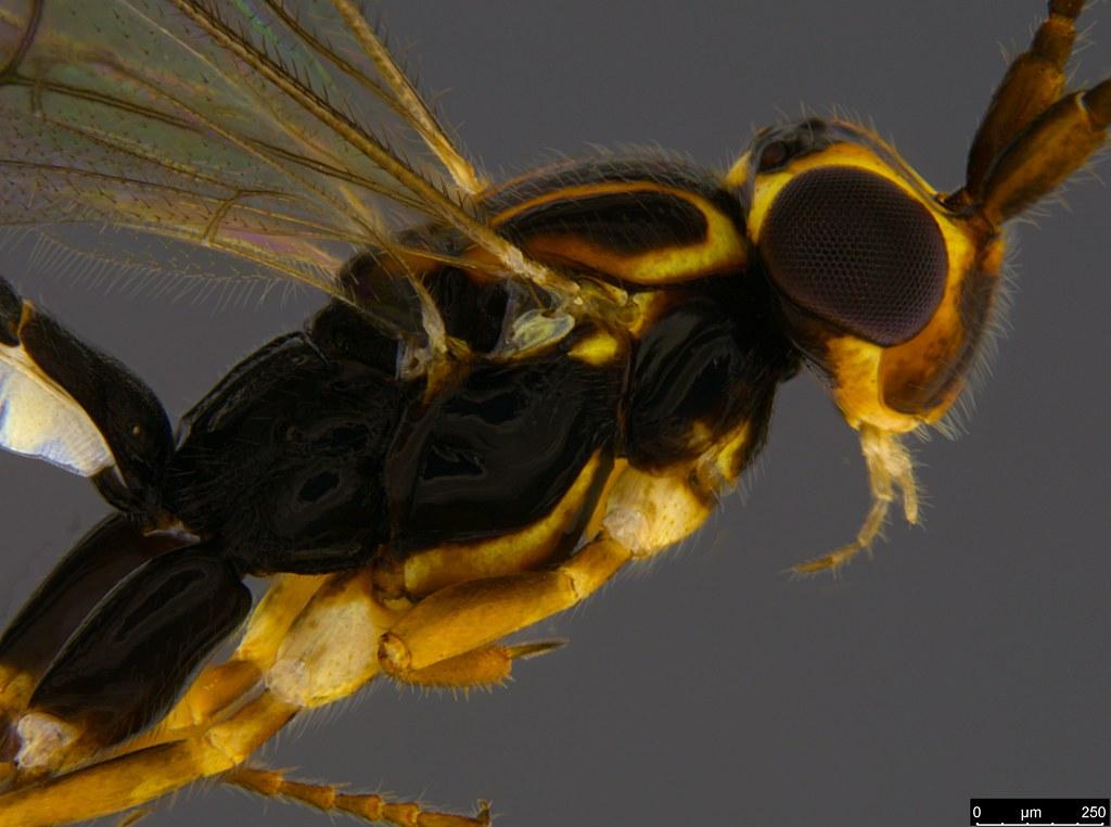21b - Orthocentrus sp.