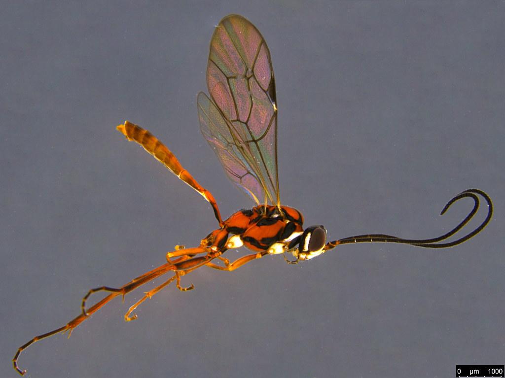 22a - Ichneumonidae sp.