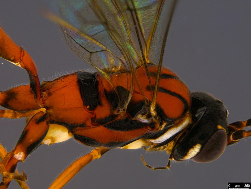 22c - Ichneumonidae sp.