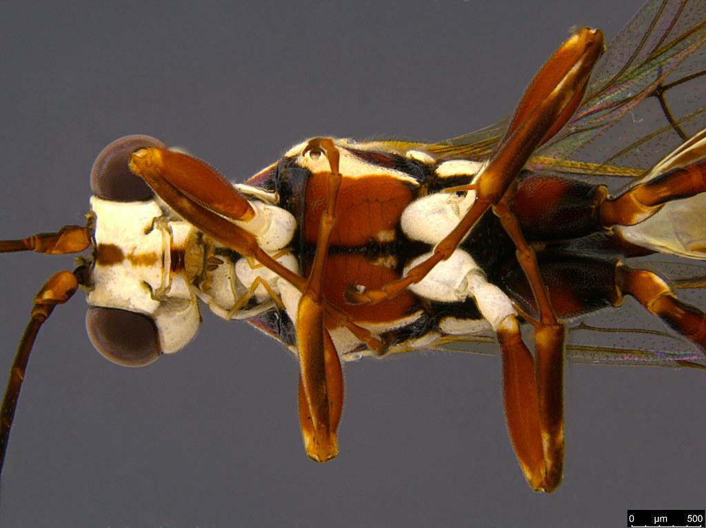 24e - Ichneumonidae sp.