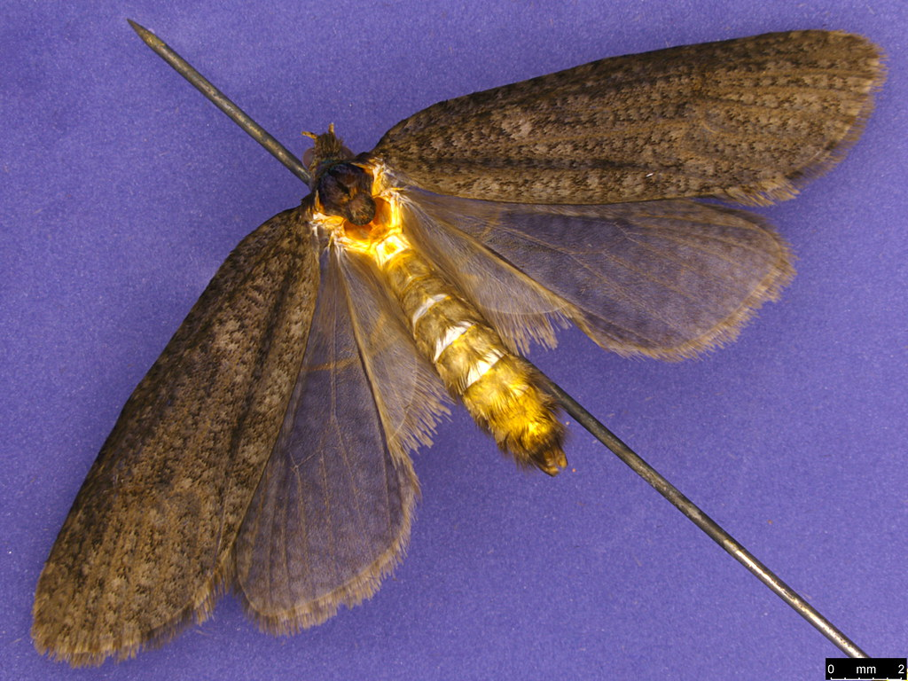 25b - Psychidae sp.