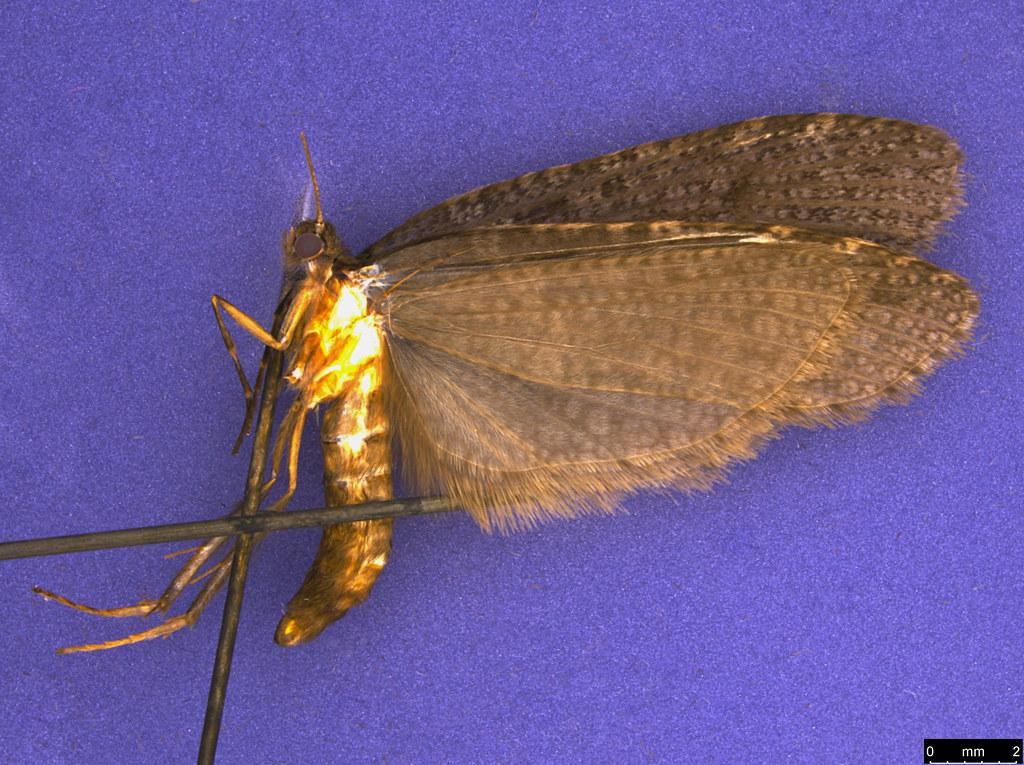 26 - Psychidae sp.