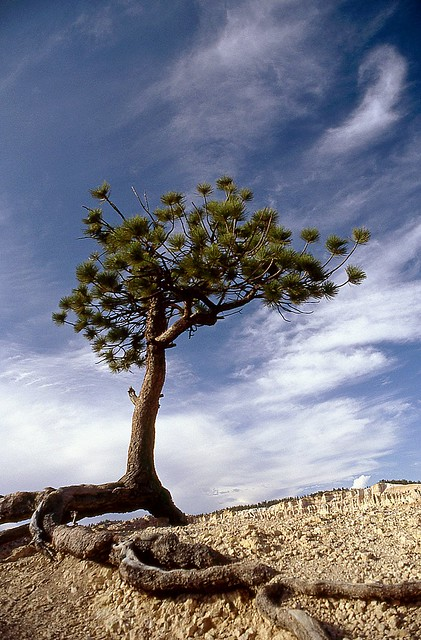 Longues racines