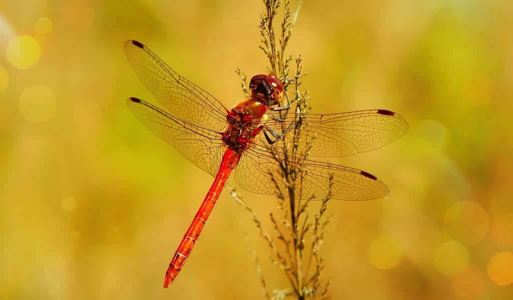 le-changement-climatique-affecte-la-couleur-des-libellules-mâles