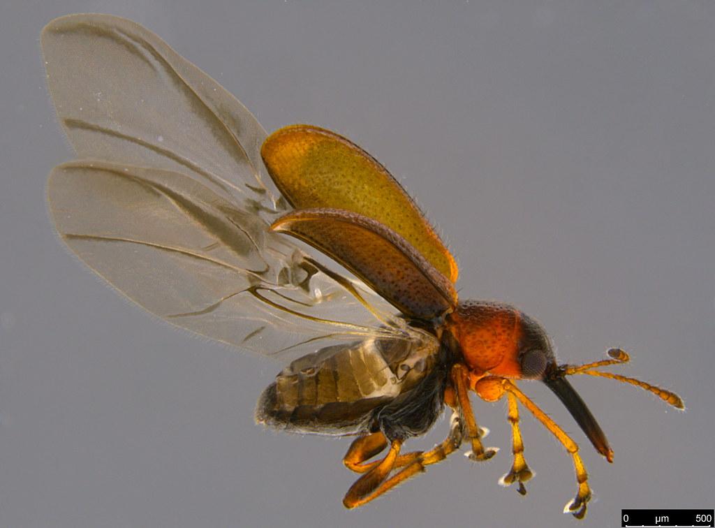 3c - Metopum sp.