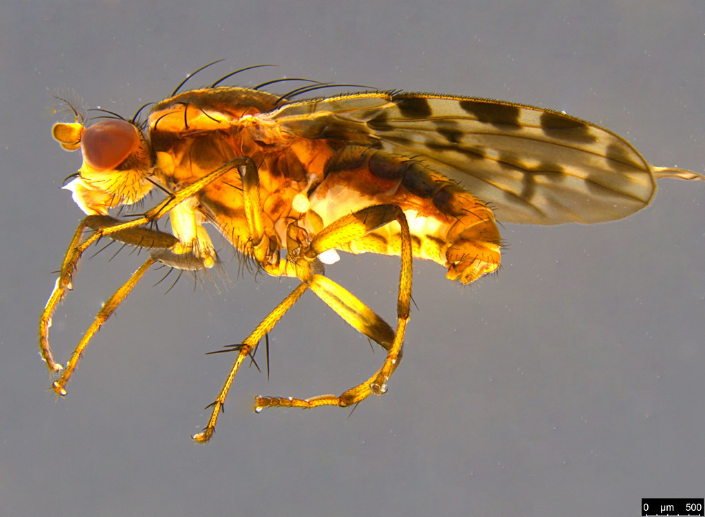 7 - Diplogeomyza maculipennis (Malloch, 1926)