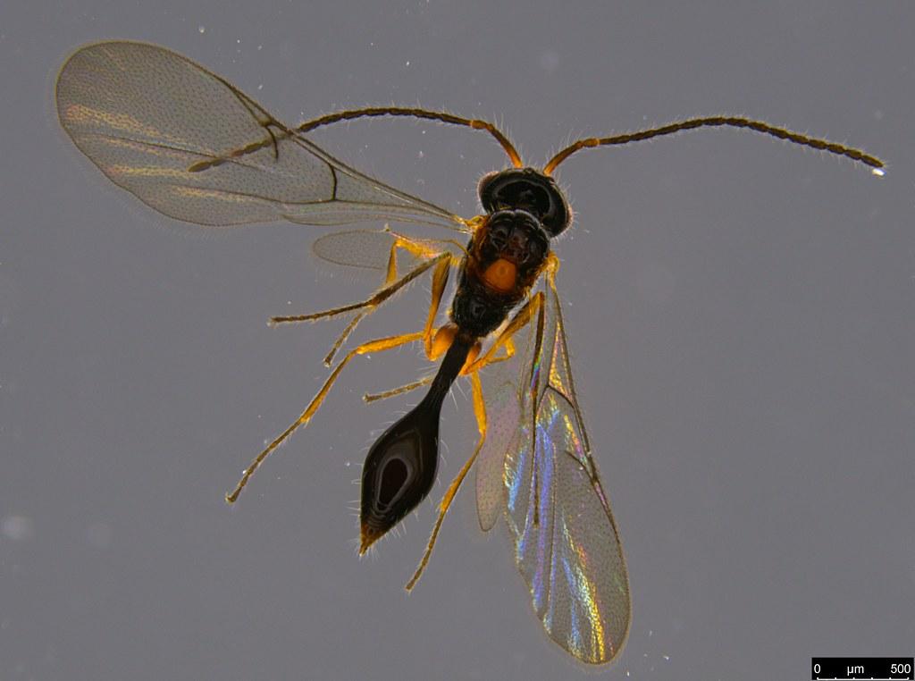 16b - Dispriidae sp.