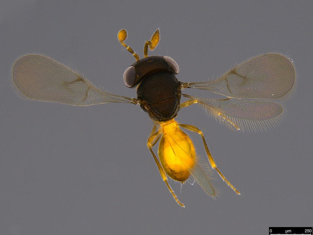 17b - Ceraphronidae sp.