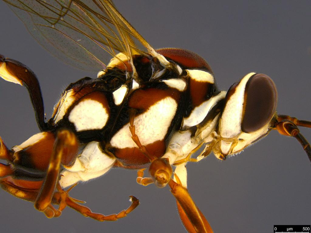 24b - Ichneumonidae sp.