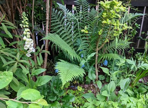 Foxgloves, fern, my garden