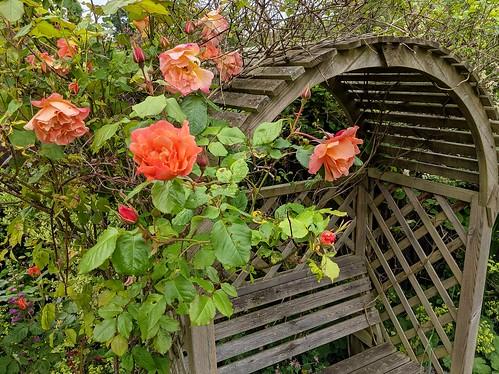 Firecracker rose, garden, flowers