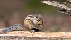 Grondeekhoorn - Siberian chipmunk ...