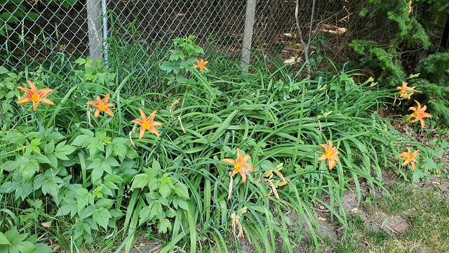 10_day_lilies