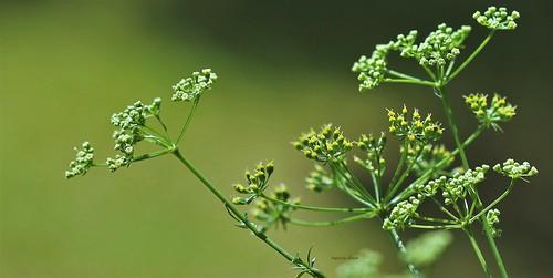 Petroselinum crispum- Persil - devinette de mardi 51292740582_a3a1940b24