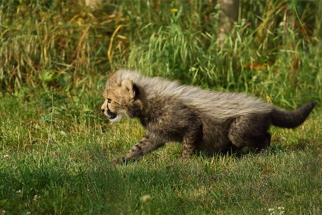 Cheetah cub / junger Gepard