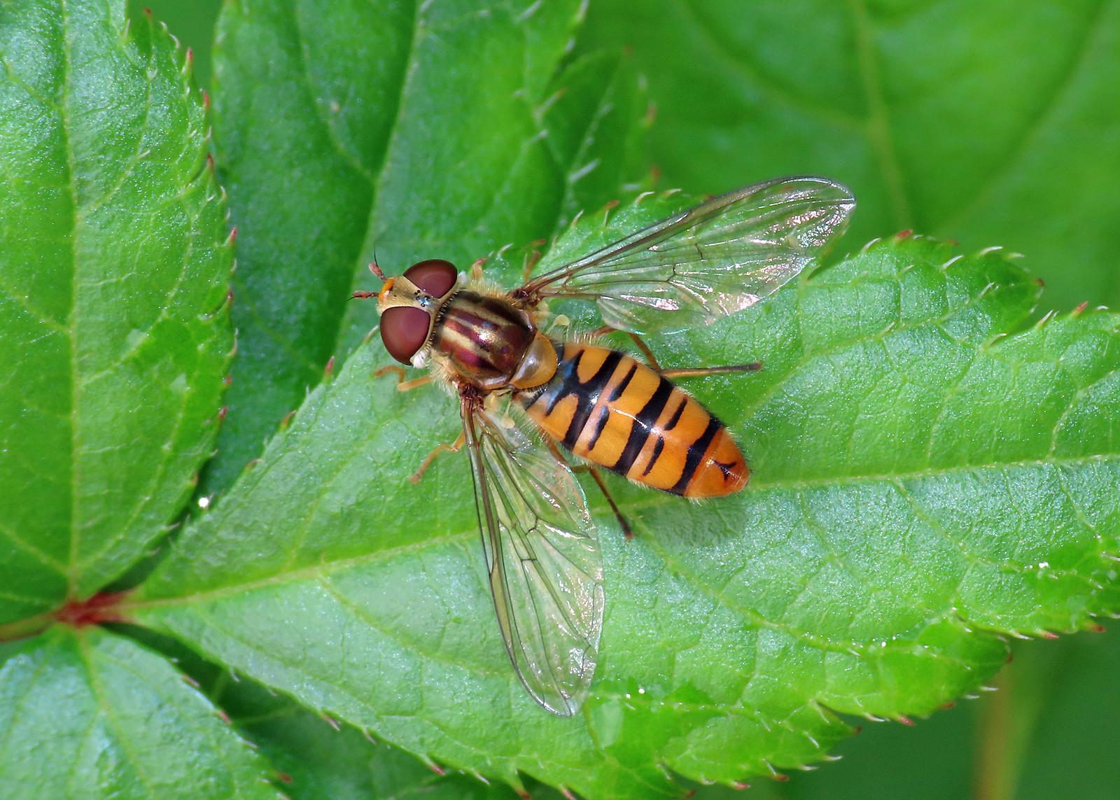 Episyrphus balteatus - Marmalade Hoverfly