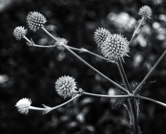 """Rattlesnake Master ('Eryngium yuccifolium') in B&W"" - (in Explore 7/7/2021)"
