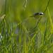 Common Yellowthroat in grass
