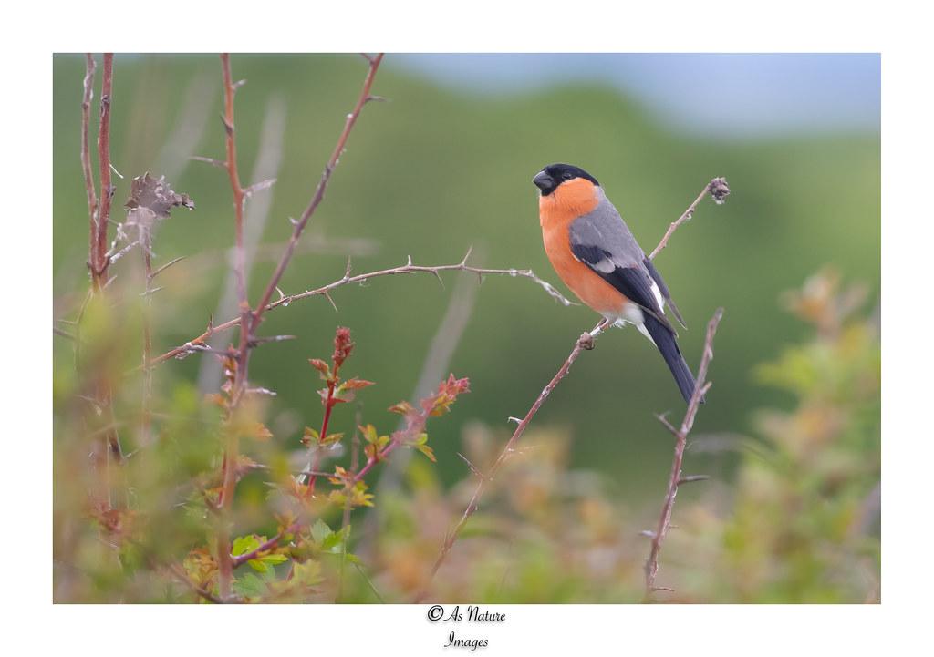Male Bullfinch in Hedgerow