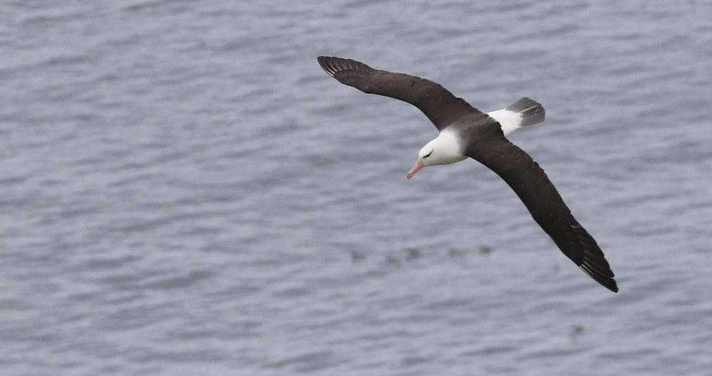 Black Browed Albatross from Bempton Cliffs