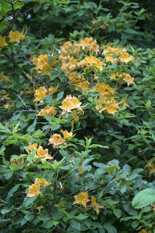 Cumberland Azalea