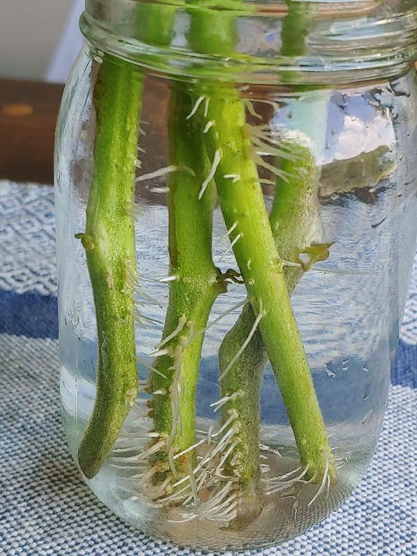 Propagating Tomatoes via suckers - 1 week in the water