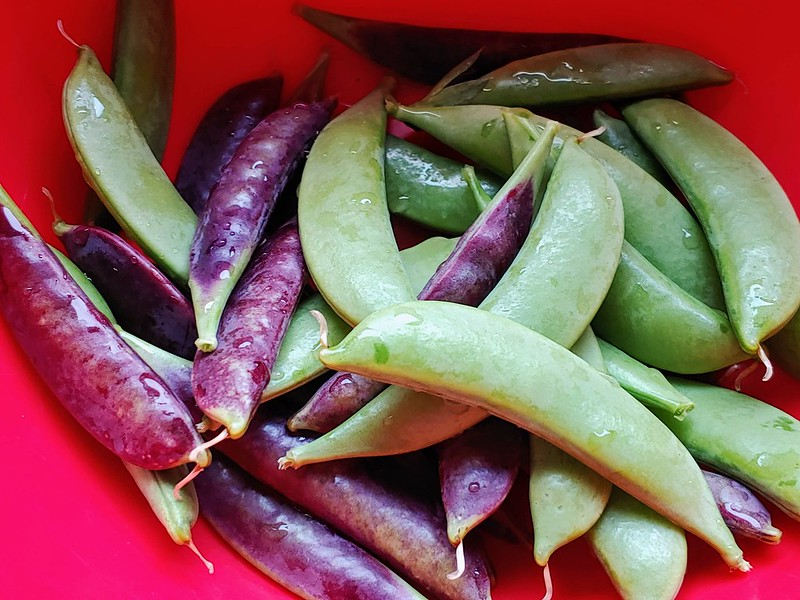 Cascadia Bush Sugar Snap Peas (from High Mowing Seeds) and Sugar Snap Magnolia Tendril Pea (from Baker Creek Seeds)