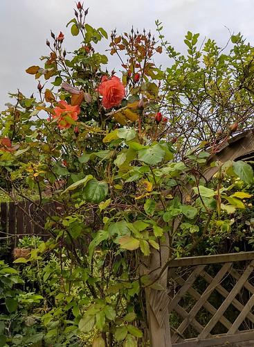 Firecracker rose, garden,flowers