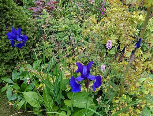 Irises, my garden